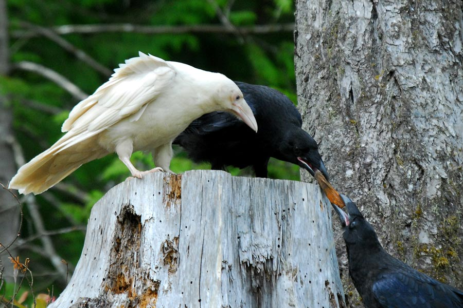 White Raven of British Columbia